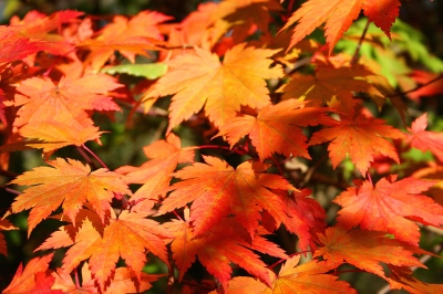 """Acer japonicum Vitifolium JPG1fu"" by Jean-Pol GRANDMONT - Own work. Licensed under Creative Commons Attribution 3.0 via Wikimedia Commons - http://commons.wikimedia.org/wiki/File:Acer_japonicum_Vitifolium_JPG1fu.jpg#mediaviewer/File:Acer_japonicum_Vitifolium_JPG1fu.jpg"
