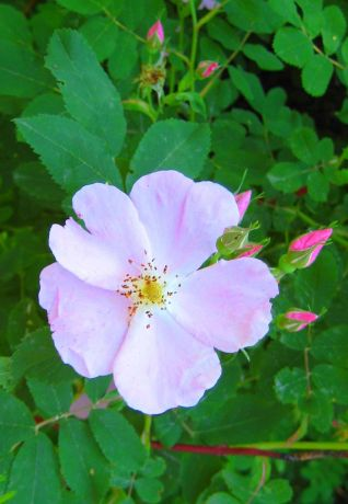 Rosa acicularis, AKA Wild Rose, the Prickly Rose, or the Arctic Rose, Attribution I, Ravedave, 15 June 2007, Wikimedia Commons