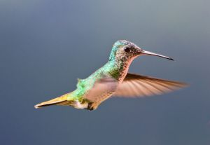 Hummingbird on flying. Golden-tailed Sapphire (Chrysuronia oenone) in NE Venezuela by Marcia14