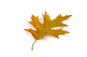 5776-a-red-oak-leaf-isolated-on-a-white-background-pv - public domain pictures