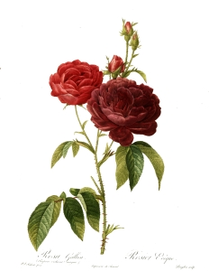 Rosa gallica purpuro-violacea magna, a painted engraving of a rose by Pierre-Joseph Redouté (1759–1840).