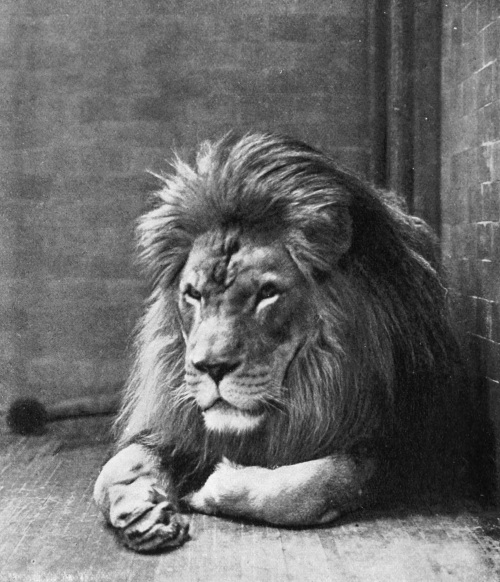 Sultan the Barbary Lion, New York Zoo.