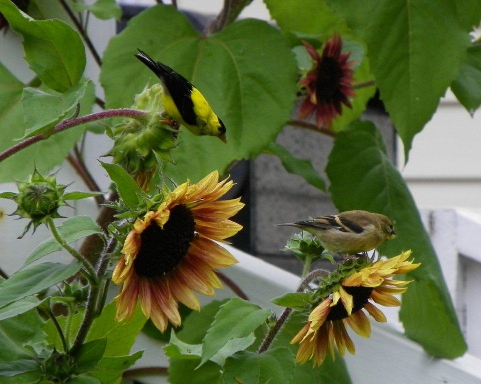 Sunflowers and finches by Nada Knauss