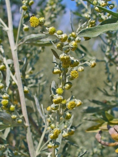 Artemisia Absinthum - photo H. Zell